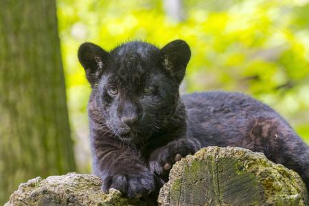 felid: Black jaguar (Panthera onca) cub
