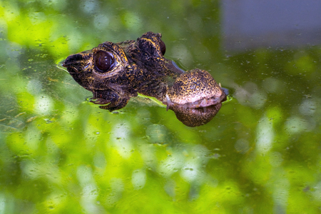 African dwarf crocodile (Osteolaemus tetraspis) on the surface of water Stock Photo