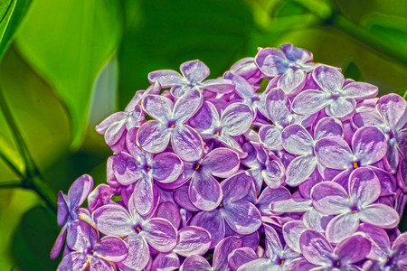 Common lilac (Syringa vulgaris) flowers in a garden Stock Photo