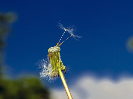 Blowball of a common dandelion (Taraxacum officinale) Stock Photo