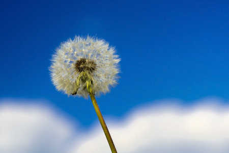 Blowball of a common dandelion (Taraxacum officinale) Stock Photo