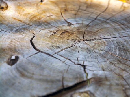 Surface of a cutted tree log in a garden