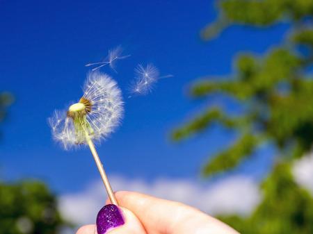 blowball: Blowball of a common dandelion (Taraxacum officinale) Stock Photo