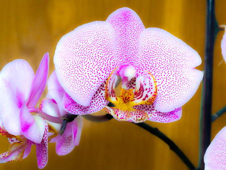 ornamentals: Flowers of a pink orchid (Orchidaceae sp.) Stock Photo