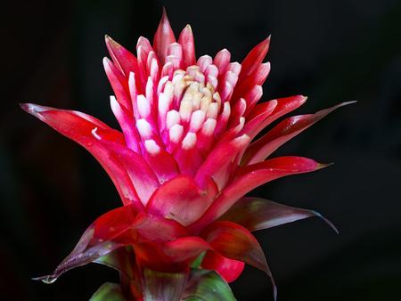 Red flower of a tufted airplant or guzmania (Guzmania lingulata) Stock Photo