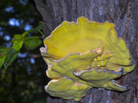 Sulphur shelf Laetiporus sulphureus - bracket fungus on a tree