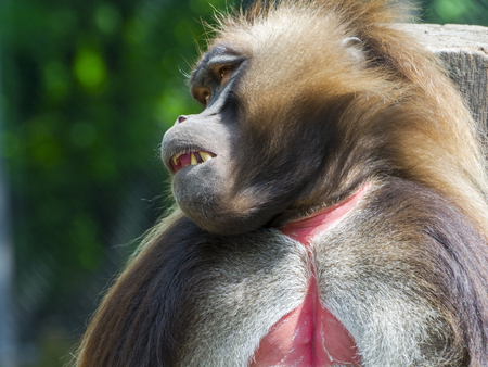 Male gelada baboon Theropithecus gelada is very sleepy
