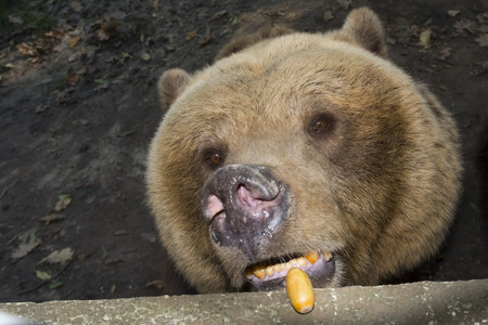 Brown bear (Ursus arctos) is eating oak acorn