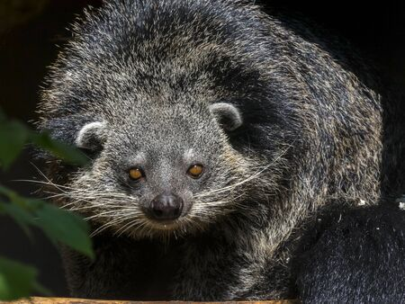 bearcat: Binturong or bearcat Arctictis binturong on a tree