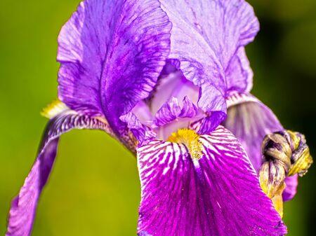 blooming purple: Blooming purple iris (Iris sp.) flower close up