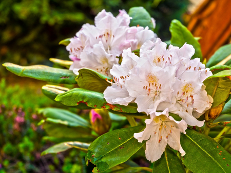 ericaceae: White and pink flowers of Rhododendron (Rhododendron sp.)