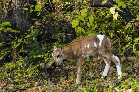 mouflon: European mouflon (Ovis aries musimon) baby in a forest