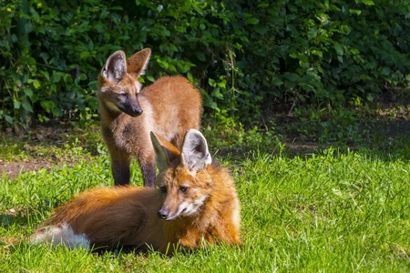 canid: Maned wolf Chrysocyon brachyurus puppy and mother in green