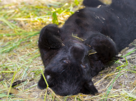Black jaguar Panthera onca cub is weltering in the grass