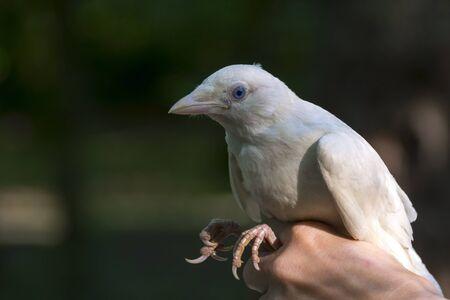 corvidae: White Eurasian jackdaw Corvus monedula in hand Stock Photo