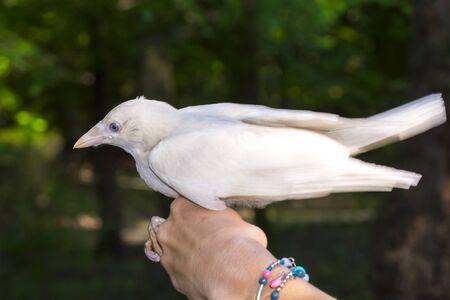 White Eurasian jackdaw Corvus monedula in hand Stock Photo