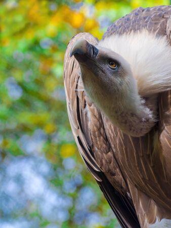 fulvus: Portrait of a griffon vulture - Gyps fulvus