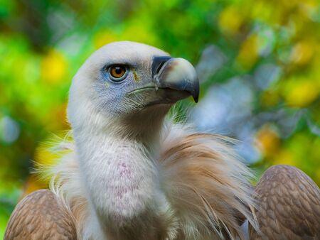 scavenger: Portrait of a griffon vulture - Gyps fulvus