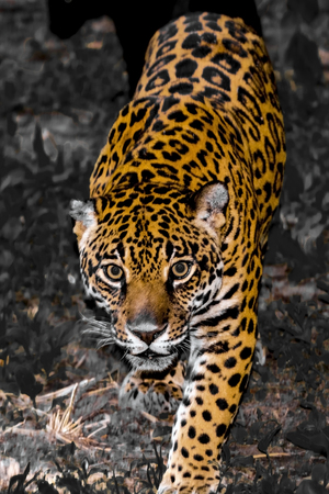 Spotted female jaguar - Panthera onca - selected color of yellow Stock Photo