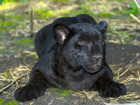 Young black jaguar - Panthera onca - in the green