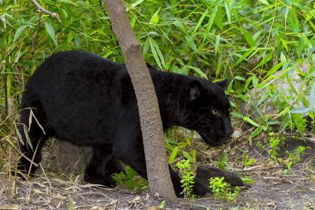 panthera onca: Young black jaguar - Panthera onca - in the green