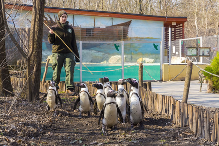 SZEGED, HUNGARY - MARCH 13. 2016 - Walking African penguins - Spheniscus demersus - in Szeged Zoo Editorial