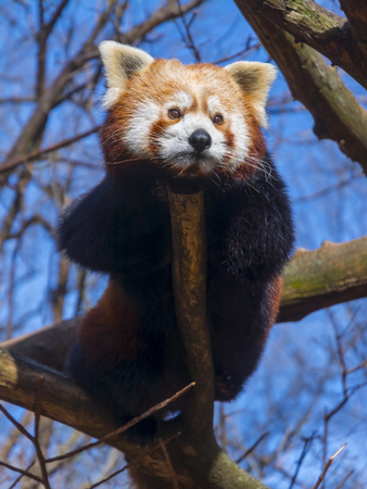 Red or Lesser Panda is resting on a tree - Ailurus fulgens Stock Photo