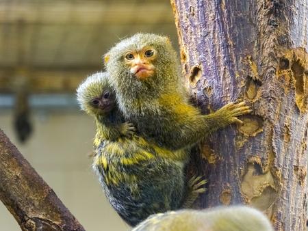 Pygmy marmoset baby - Callithrix or Cebuella pygmaea