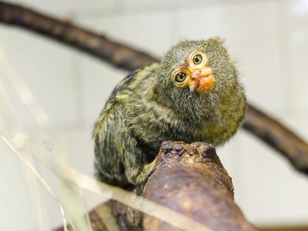 Young pygmy marmoset - Callithrix or Cebuella pygmaea Stock Photo