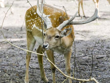 Persian fallow deer (Dama mesopotamica) male