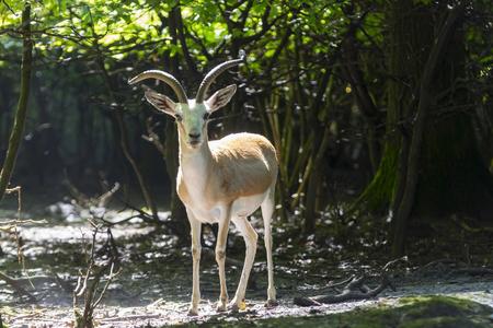Goitered or black-tailed gazelle (Gazella subgutturosa) male 版權商用圖片