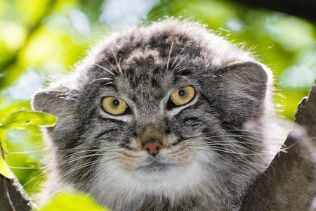 Pallas's cat - Otocolobus manul -  portrait on a tree Stock Photo