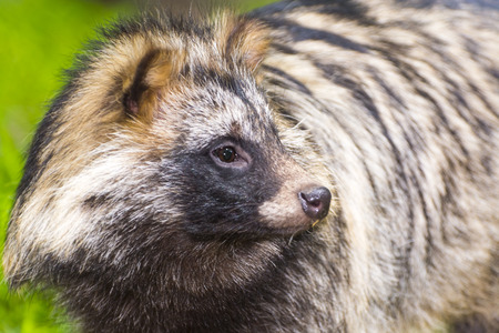 Mangut or raccoon dog (Nyctereutes procyonoides) the Asian invader