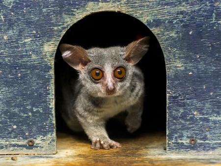 The African cute: Senegal bushbaby - Galago senegalensis