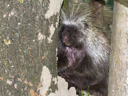 Hiding tree porcupine
