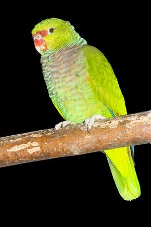 Vinaceous-breasted amazon parrot Stok Fotoğraf
