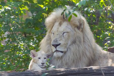 Father and daughter white South African lions