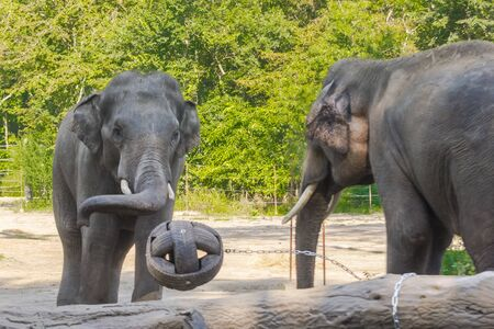 Asian elephant bulls are playing with a ball