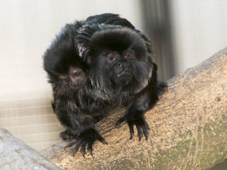 Goeldis marmoset or Callimico goeldii father and his baby on a tree branch 版權商用圖片