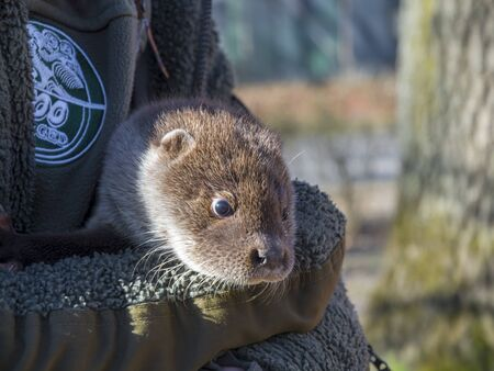 Orphaned European otter baby in a zoo Lutra Lutra in the arms of a zookeeper