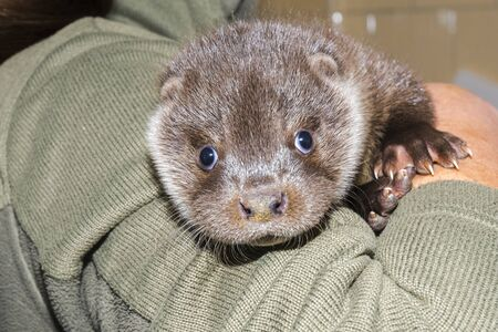 Orphaned European otter baby in a a wildlife rescue center Lutra Lutra