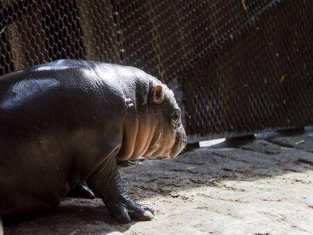 Pygmy hippopotamus baby in a zoo house