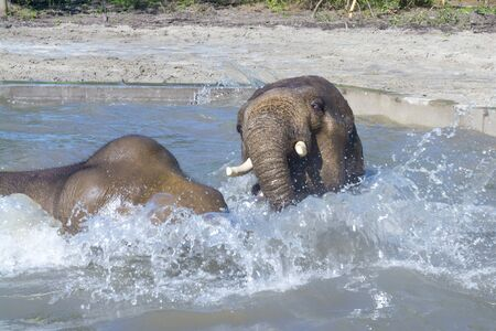 Asian elephants Elephas maximus in a forest enclosure with pool