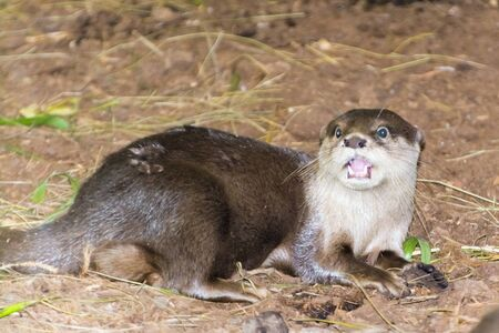 Asian small-clawed otter, its latin name is Amblonyx or Aonyx cinereus