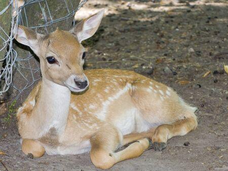 Persian fallow deer fawn, its scientific name is Dama mesopotamica
