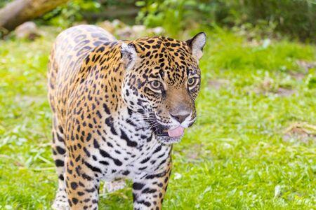 Portrait of an adult spotted female jaguar