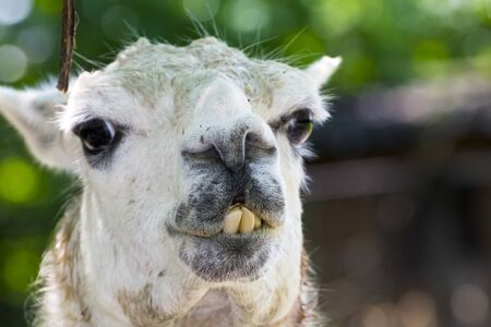 Adult white llama is ready to spit