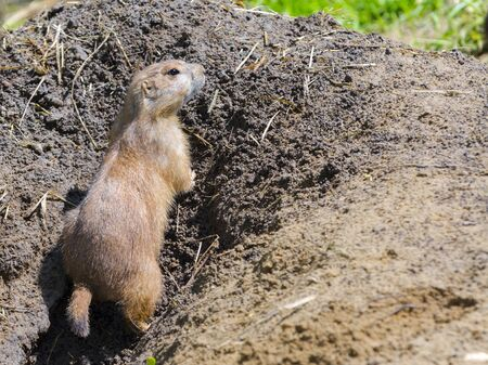 Black-tailed prairie dog, its scientific name is Cynomys ludovicianus