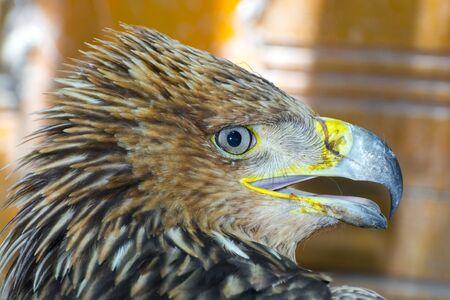 Eastern imperial eagle, its scientific name is Aquila heliaca