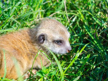 Meerkat baby, its scientific name is Suricata suricatta